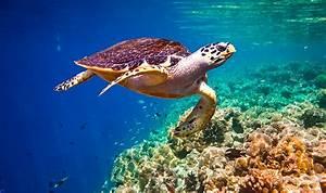 Sea Turtle Encounters While Snorkeling in Barbados