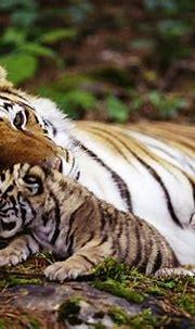 Tiger 4k Ultra HD Wallpaper | Background Image | 3964x2664