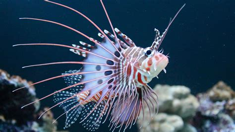 Antennata Lionfish Hd 1080p Wallpapers Download