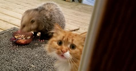 cats reaction  possum stealing  food