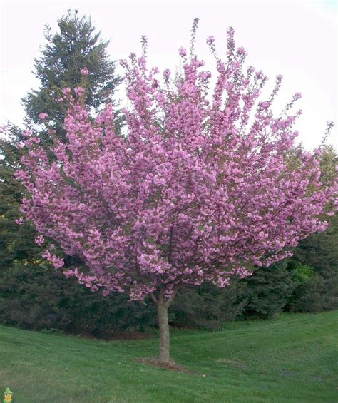 flowering cherry kwanzan flowering cherry tree for sale the planting tree