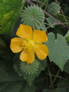 Abutilon indicum / Kabi/ Kakahi/ Chambi/ Tara-kanchi/ Atibala/ Balika ... Ayurvedic Treatment