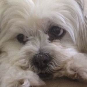 Maltese Shih Tzu | All God's Creatures Great & Small ...