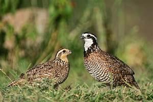 bobwhite quail pictures | ... Bobwhite, Rufous-bellied ...