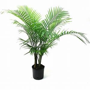 Delray, Plants, Majesty, Palm, Ravenea, Rivularis, Easy, To, Grow, Live, House, Plant, 10