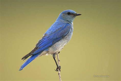 mtn bluebird male portrait castlewood canyon state park