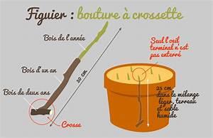 Planter Un Figuier : figuier planter bouturer marcotter r colter soigner ~ Melissatoandfro.com Idées de Décoration