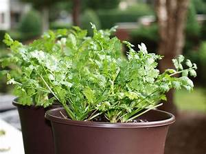 Tips For Growing Cilantro In the Garden