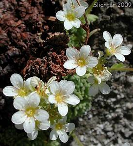 Image Gallery tufted saxifrage