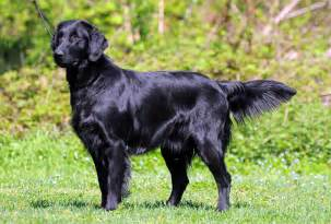flat coated retriever breeders puppies and breed