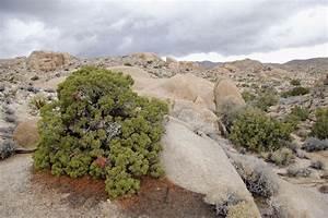Members of the Juniperus Genus