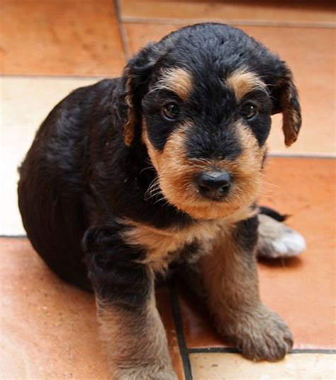 Medium Sized Dogs Low Shedding by Non Shedding Puppy Medium Sized Low Shedding Dogs