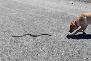 12 Tips On Snake Bite Prevention For Dogs - Snake Bites On ...