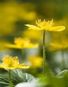 Fuchsien Stecklinge Kaufen : anemone ranunculoides gelbes buschwindr schen kaufen ~ Michelbontemps.com Haus und Dekorationen