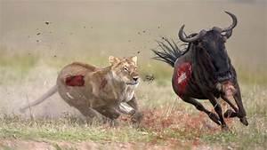 Famous Lion Attacks