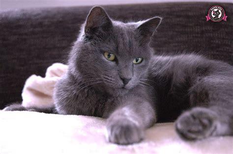 nebelung cat temperament  personality sweetie kitty