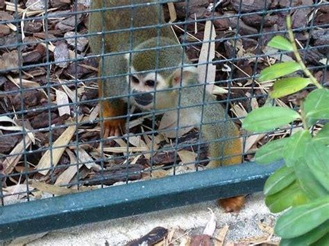 singe 233 cureuil de guyane photo de jardin zoologique