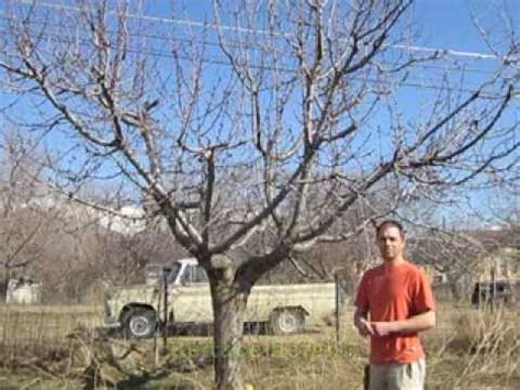 How To Prune Old Cherry Trees Youtube