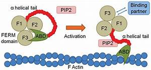Ferm Family Proteins And Their Importance In Cellular