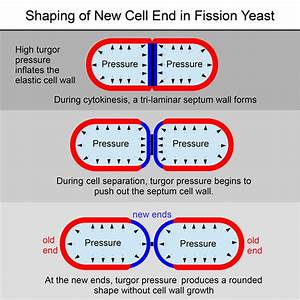 Morphogenesis Of The Fission Yeast Cell Through Cell Wall Expansion  Current Biology