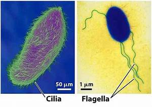 What Are Flagella And Cilia And How Are They Structured