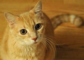 domestic cats semi domesticated house cats not far removed from