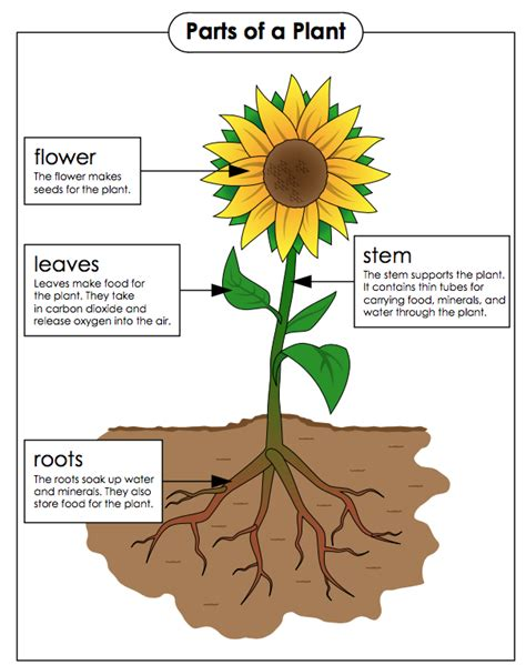 parts of a plant and their functions fourth grade