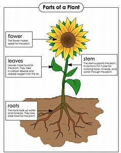 Parts Of A Plant And Their Functions  U2013 Fourth Grade