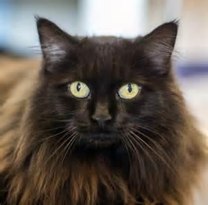 black cat black cat brown hairs