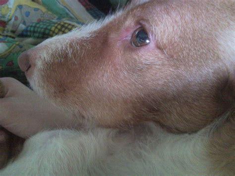 hund hat geschwollene lefzen medizin tierarzt