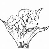 Lily Coloring Calla Pages Printable Lilies Flowers Supercoloring Categories Medium sketch template