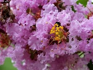 Taille Du Lilas Des Indes : le lilas des indes les jardins panoramiques de limeuil ~ Nature-et-papiers.com Idées de Décoration