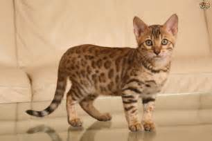 bengal cat pet is the bengal the cat for you pets4homes