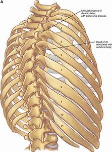 Figure 9 From The Anatomy Of The Ribs And The Sternum And