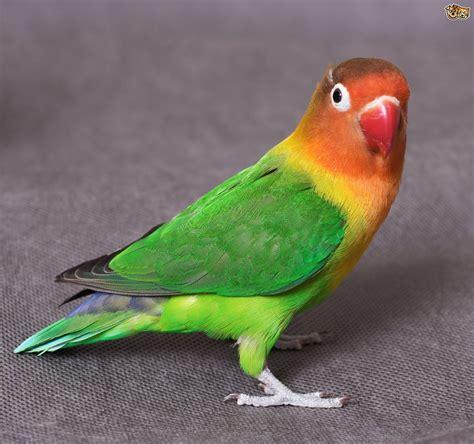 common lovebird illnesses petshomes