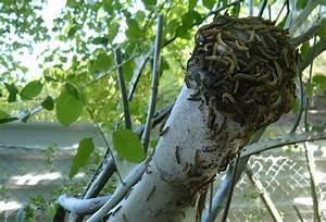 Pflanzen Gegen Spinnen : unbedenkliche gespinstmotten verh llen b ume und str ucher ~ Lizthompson.info Haus und Dekorationen