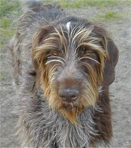 German Wirehaired Pointer Dog Breed Information and Pictures