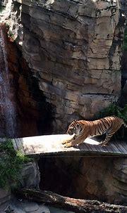 Tampa - Busch Gardens - Jungala - Bengal Tiger | Jared ...