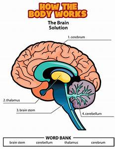 Brain Diagram For Kids