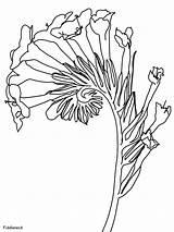 Fiddleneck Bloom Coloring Pages Flowers Printable Plants Coloringonly Coloriage Depuis Enregistree Ws sketch template