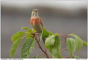 Vogel Mit Roter Brust : bluth nfling foto naturfotografie digital bilder mit beschreibung ~ Eleganceandgraceweddings.com Haus und Dekorationen