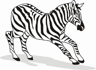 Zebra Coloring Pages Printable Zebras Animal Drawing