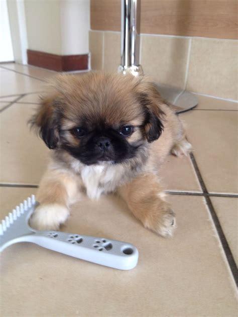 pekingese puppies fur baby pekes images
