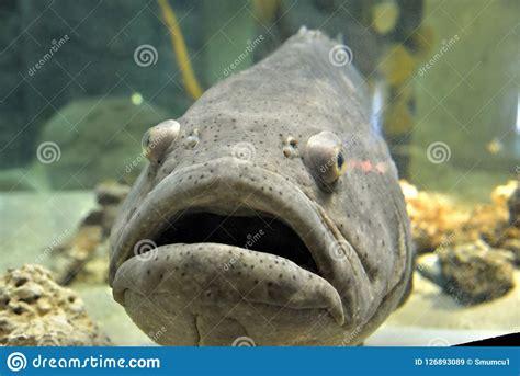 grouper aquarium goliath fish gulf mexico largest depressed captivity preview