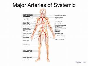34 Label The Major Systemic Arteries