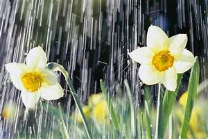 Rain falling on Daffodils Photographic Print by Roy Morsch ...