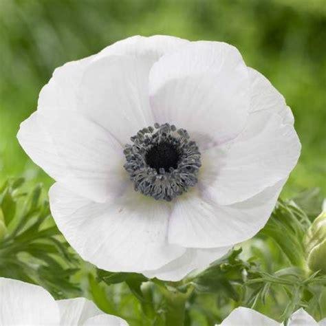 white anemone flowers white white