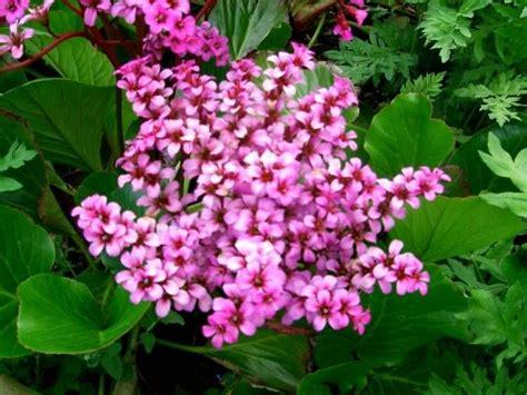 fiori di san giuseppe bergenia il fiore di san giuseppe
