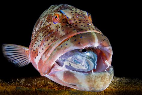 grouper fish hamour thailand eating jack