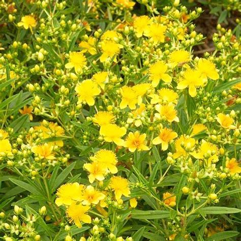yellow flowering bushes shrubs bright yellow and yellow flowers on pinterest